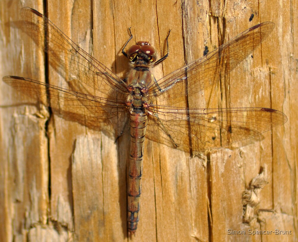 Dragonfly - taking a breather! by Simon  Spencer-Brunt