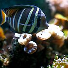 Striped tropical fish by Asiantiger247