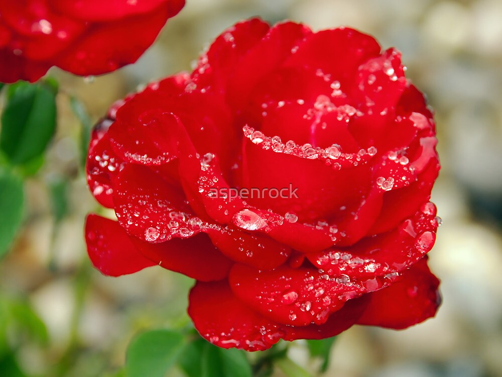 perfect red rose with raindrops by aspenrock