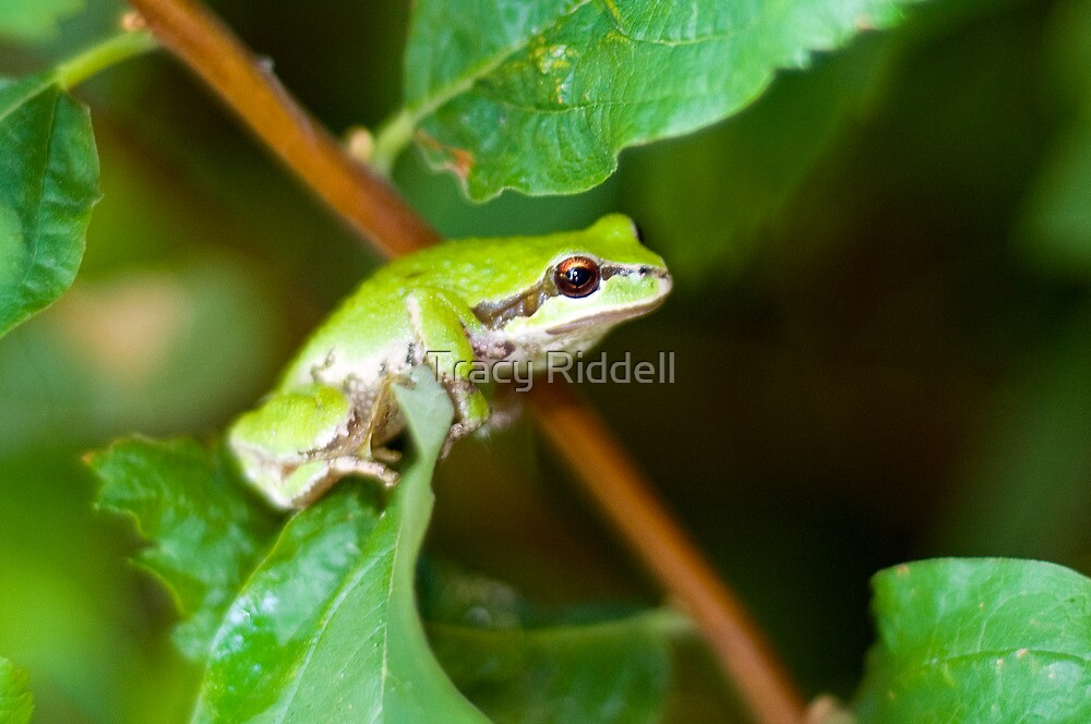 Tree Frog by Tracy Riddell