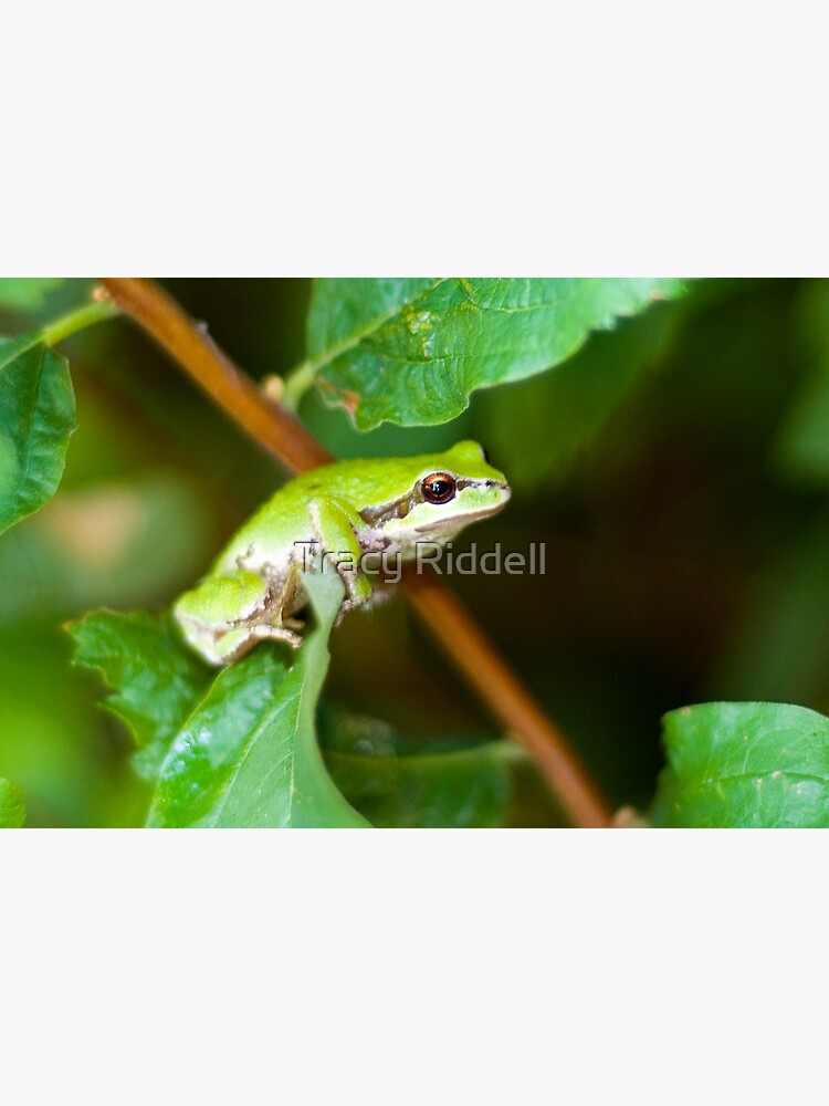 Tree Frog by taos