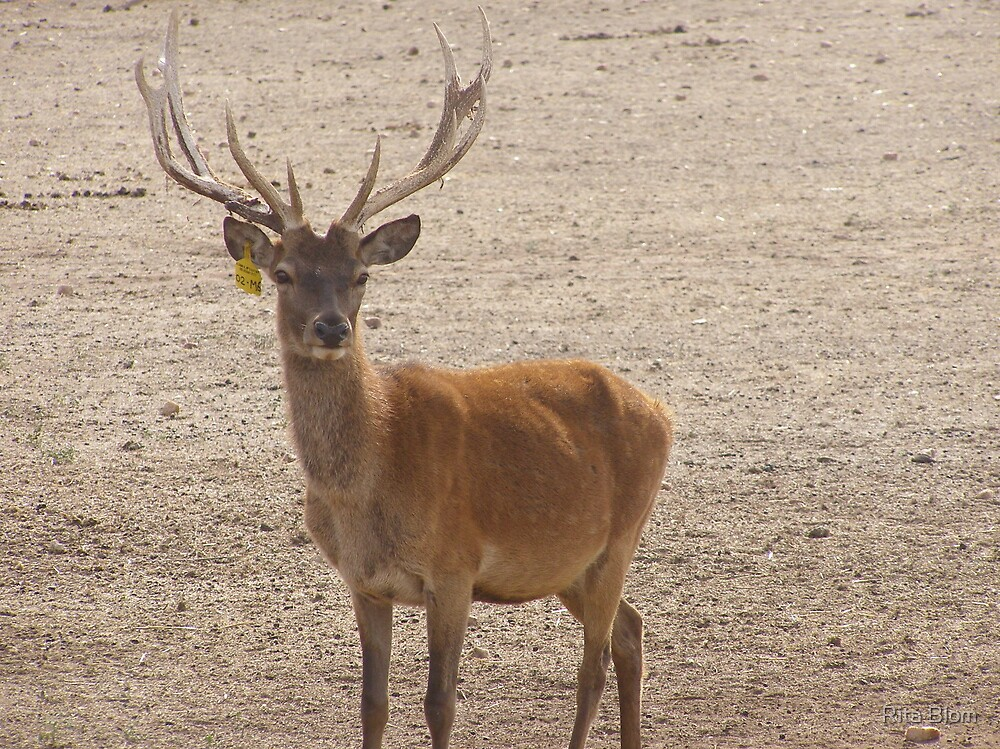 Such a gentle face! Farmed Red Deer. Mt. Pleasant. S.A. by Rita Blom