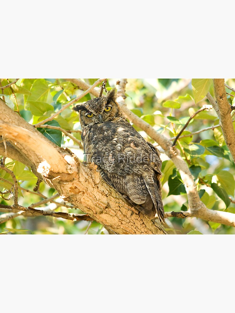 Great Horned Owl by taos