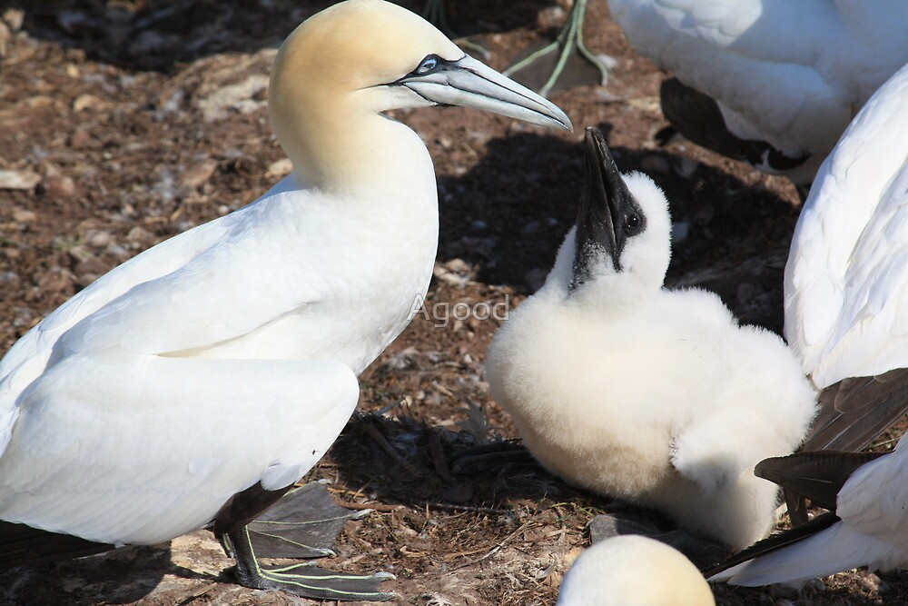 Nesting Gannets by Agood