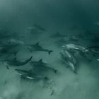 Dolphins Below by Amanda Cotton
