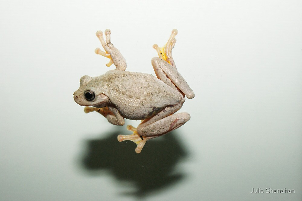 Peron's Tree Frog by Julie Shanahan