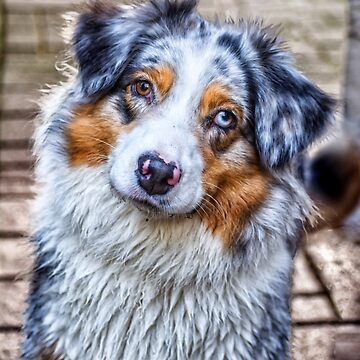 Australian Shepherd by BonniePhantasm