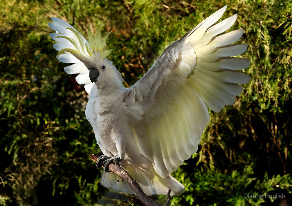 Cockatoo Landing by Dianne English