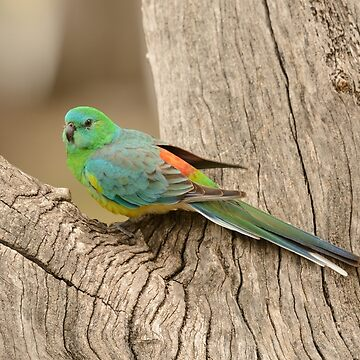 Grass Parrot 01 by fotoWerner