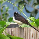 Willy Wagtail 2 by EvieHanlon