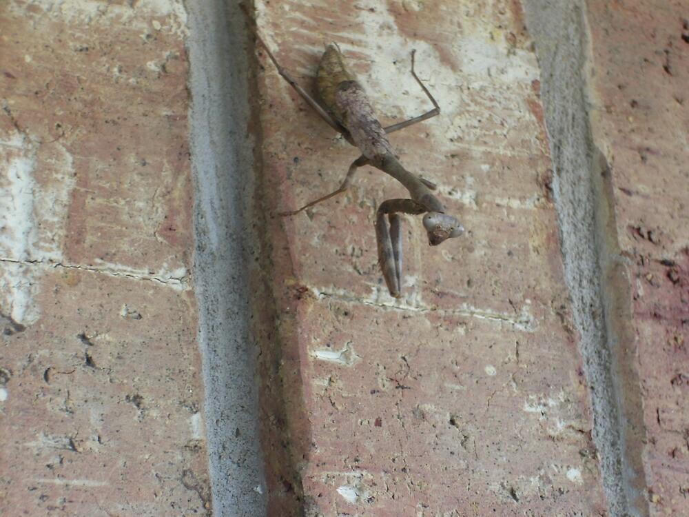 Praying Mantis by elemnt