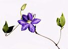 Clematis by Barbara Wyeth