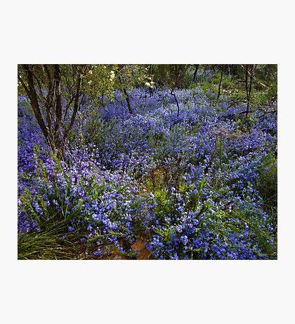 Blue Lechenaultia - Growing wild, Wongan Hills, Western Australia Photographic Print