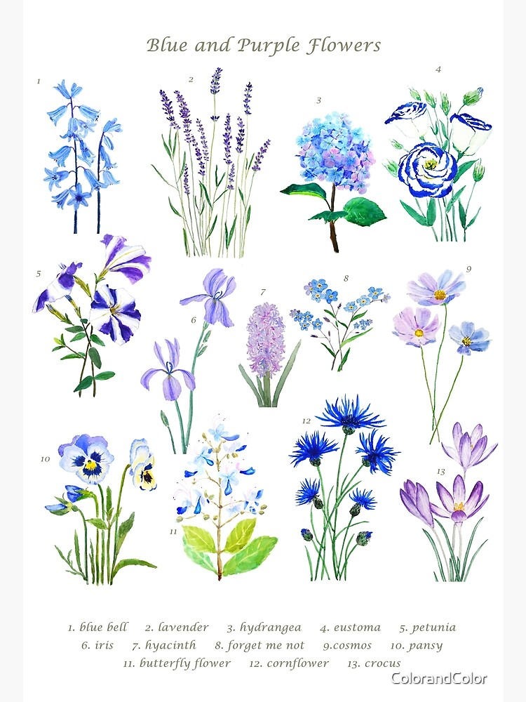 blue and purple  flower collection watercolor  by ColorandColor
