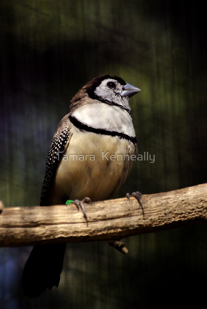 Double - Barred Finch by Tamara  Kenneally