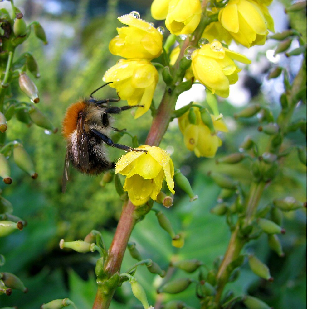 Mahonia Japonica with October Bee  by Caroline Anderson