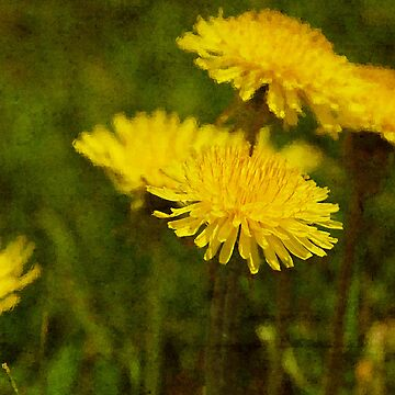 Dandy Dandelion by camerainhand