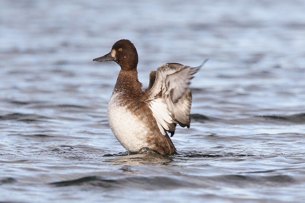 The Fanning Of A Female Lesser Scaup by DigitallyStill