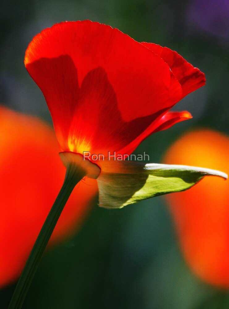 Red Poppy by Ronald Hannah