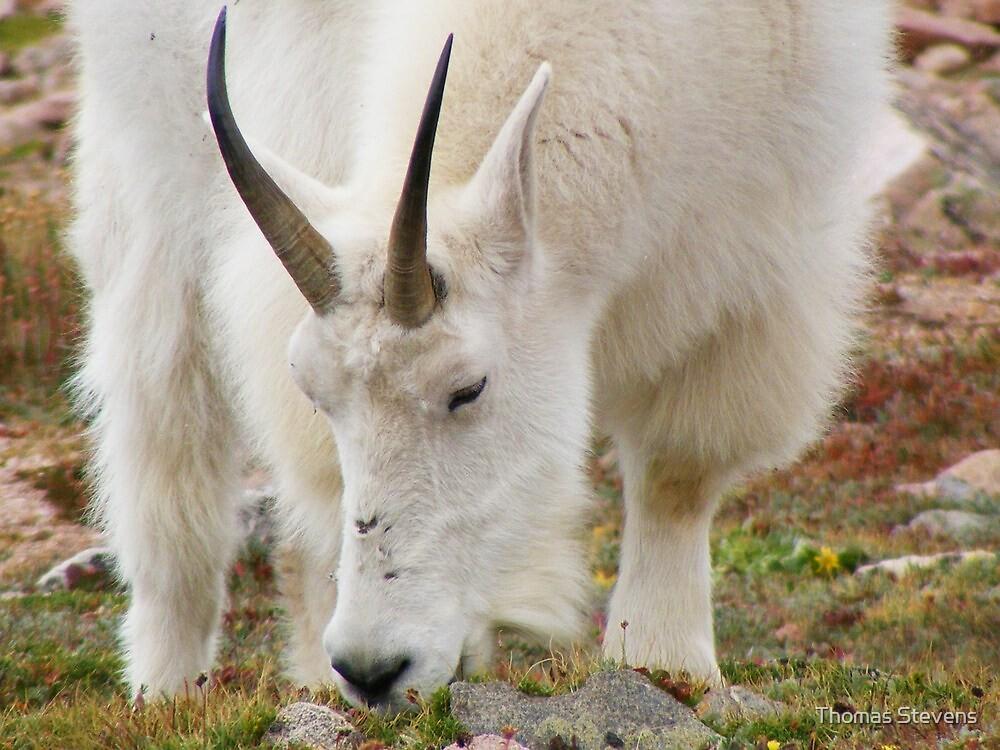 Colorado Mountain Goat by Thomas Stevens