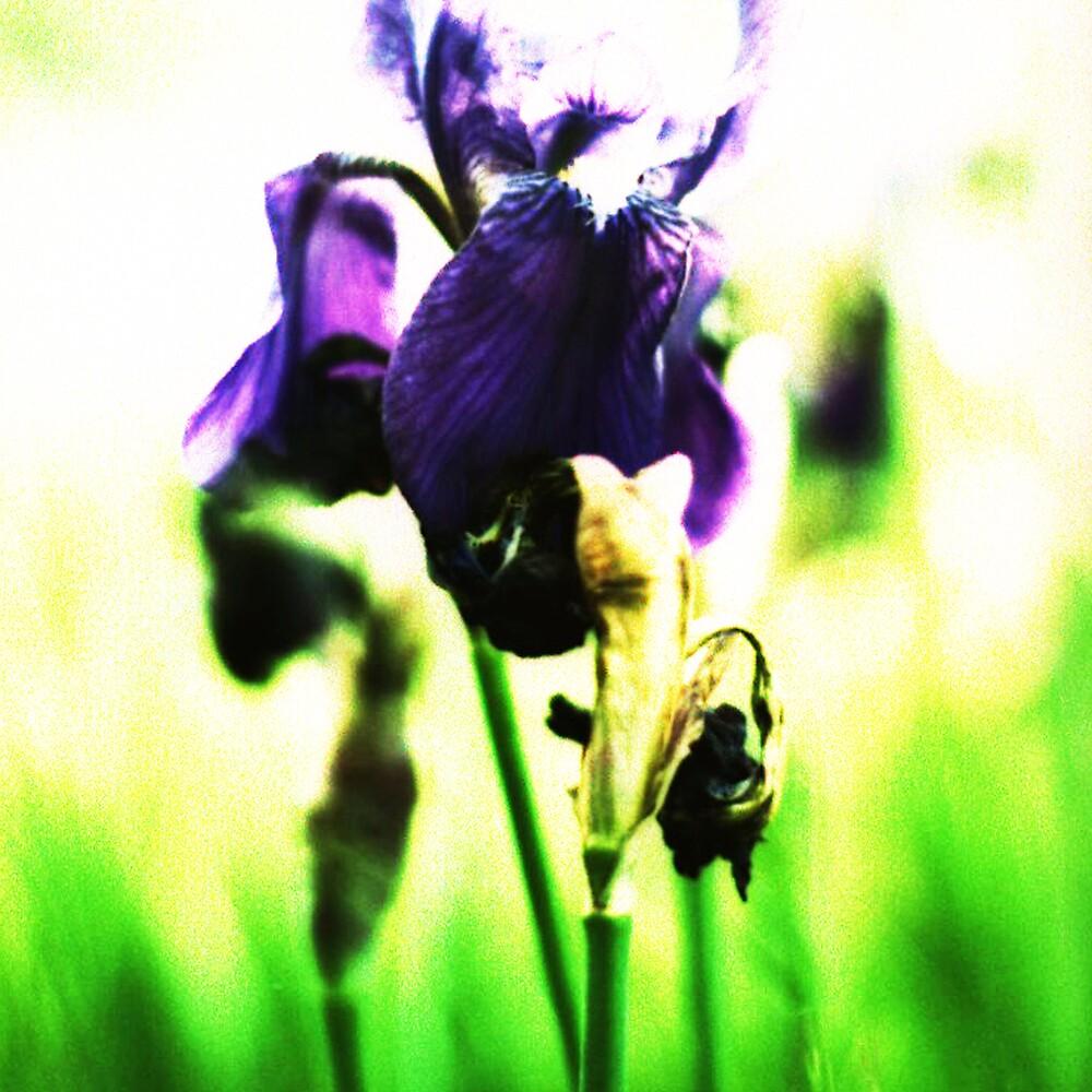 Morning Iris by Brightnewthings