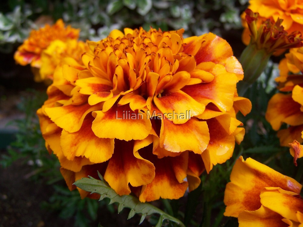 AFRICAN MARIGOLD  by Lilian Marshall