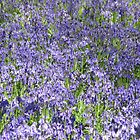 Bluebells en masse by lezvee