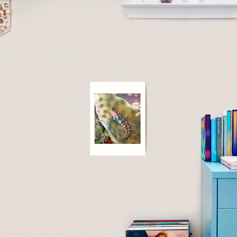 Tiger Blenny Art Print