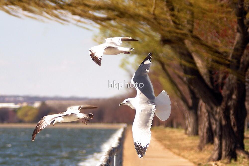 Seagull II by bkphoto