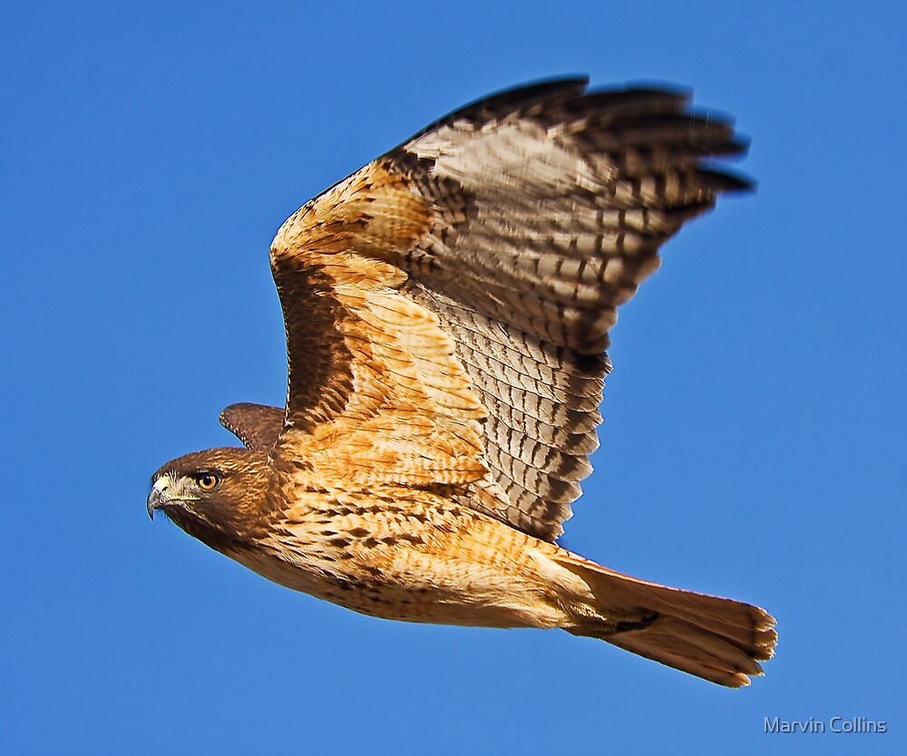 1108093 Red Tailed Hawk by Marvin Collins