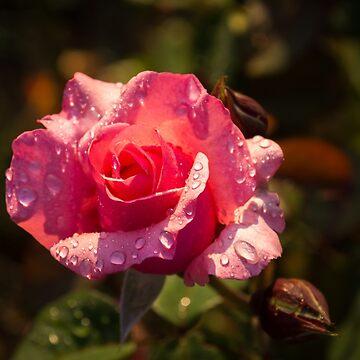 Rose And Rain - Juicy Pink Rosebud by GeorgiaM