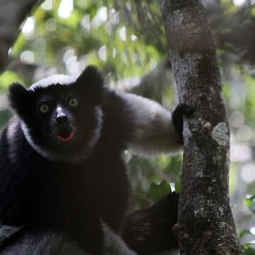 the howl of the Indri by gruntpig