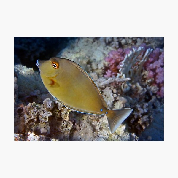 Red Sea Bluespine Unicornfish Photographic Print