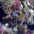 Threadfin Butterflyfish Is Gorgeous by hurmerinta