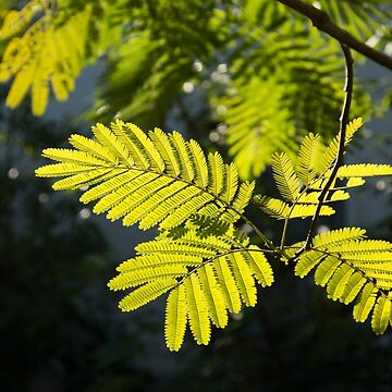 Graceful Lace - Spotlit Mimosa Leaves by GeorgiaM