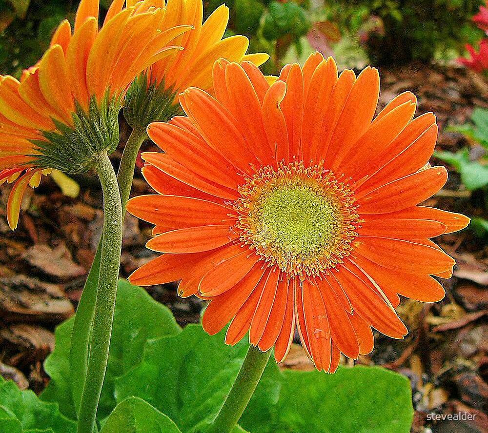 Gerbera Flower - Up Close by stevealder