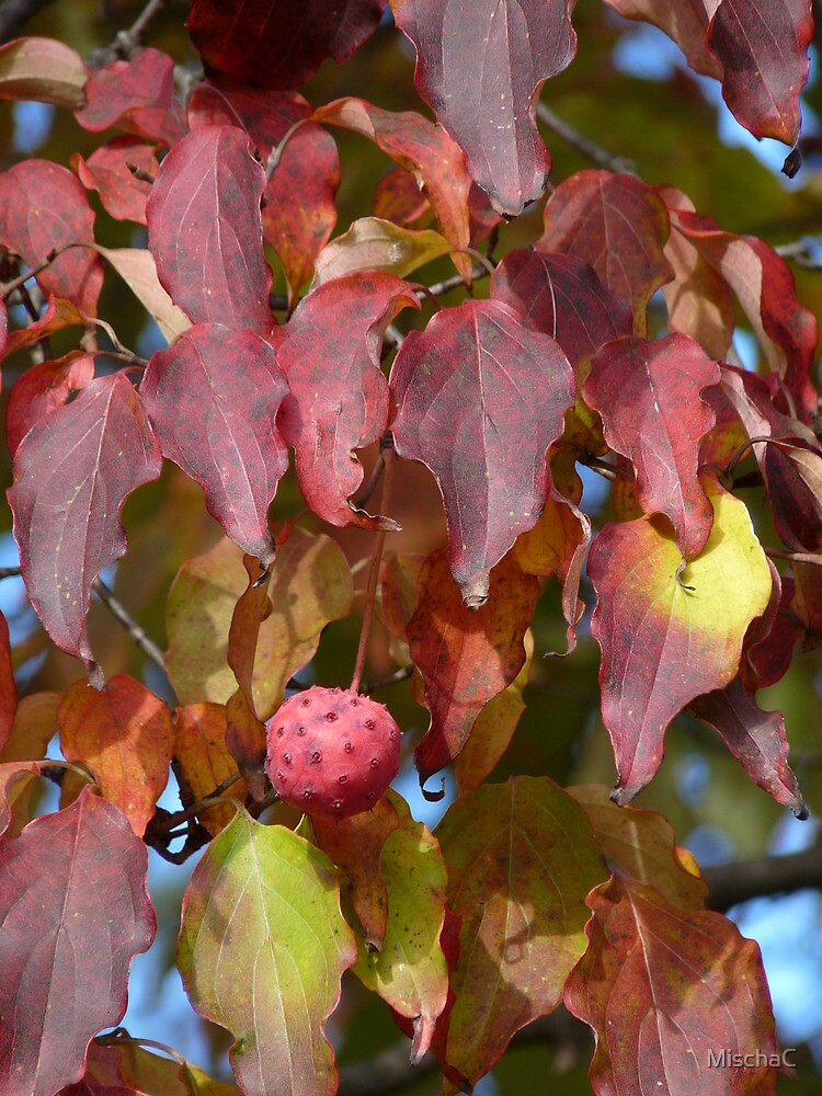 Dogwood fruit by MischaC
