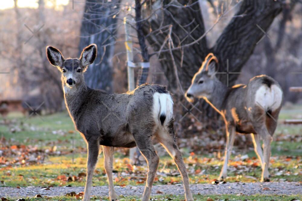 Sun Kissed Mule Deer by Alyce Taylor