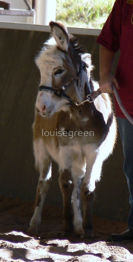 Coloured Donkey Colt - Tocal by louisegreen