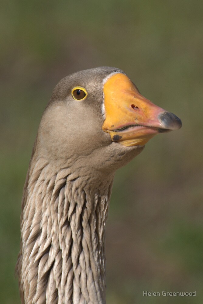 Domestic Goose by Helen Greenwood