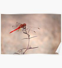 Red dragonfly - Edith Falls near Katherine, NT Poster