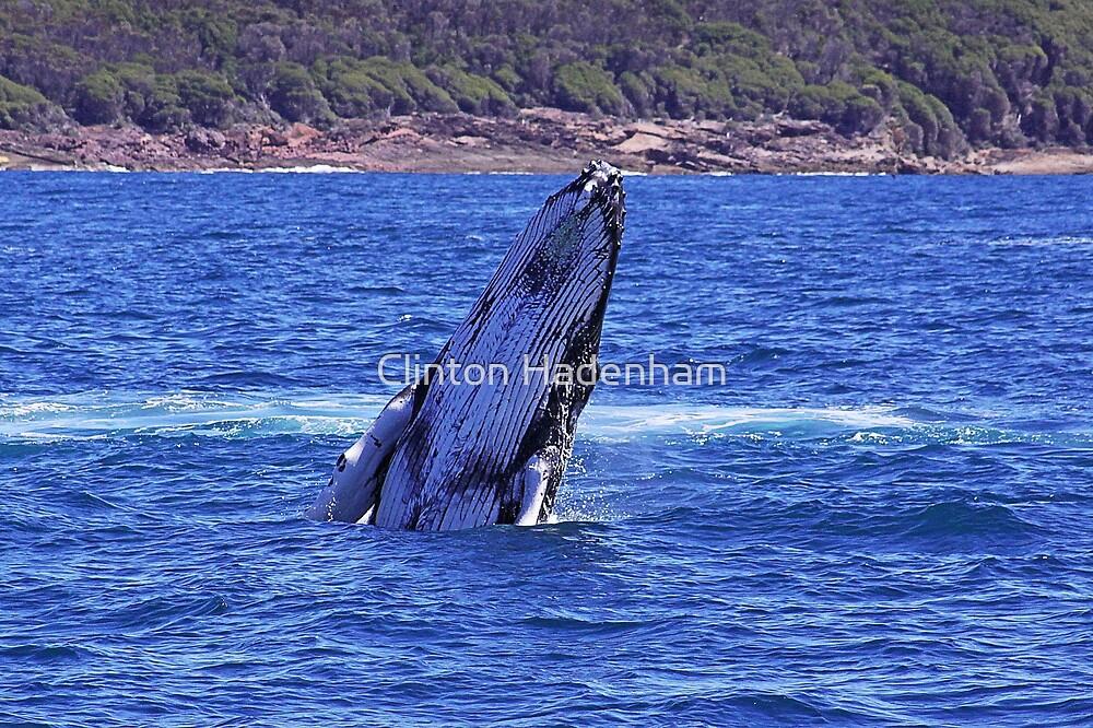 Humpback Whale Breaching :: Eden by Clinton Hadenham