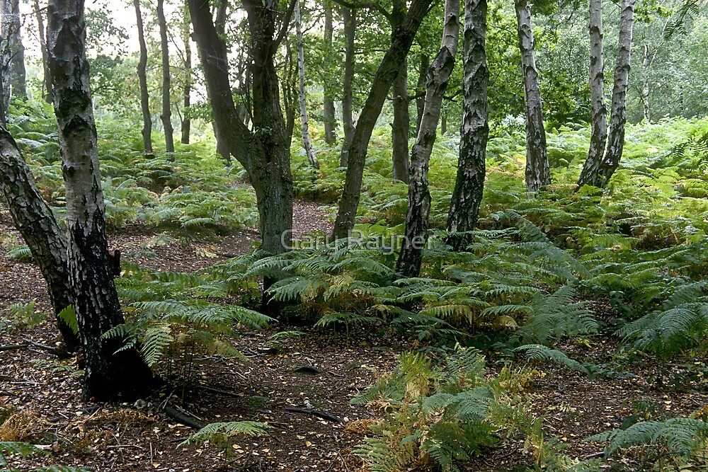 Birch amoung the Ferns by Gary Rayner