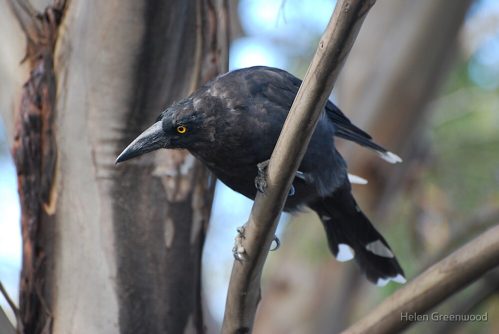 Currawong by Helen Greenwood