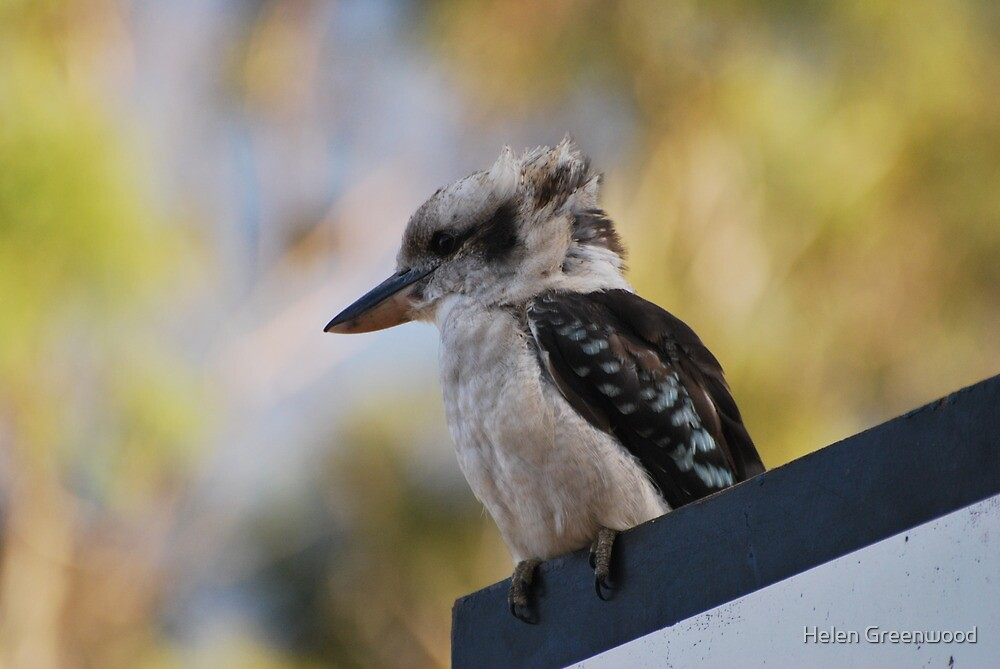 Kookaburra by Helen Greenwood