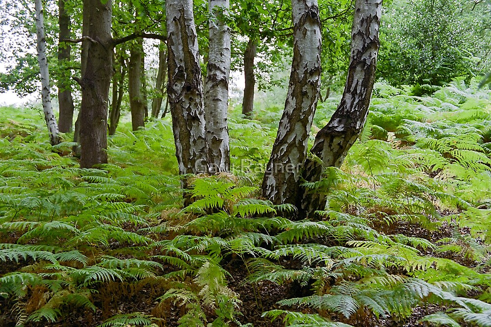 Birch amoung the Ferns 03 by Gary Rayner