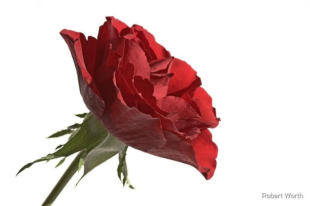 Rose by Robert Worth