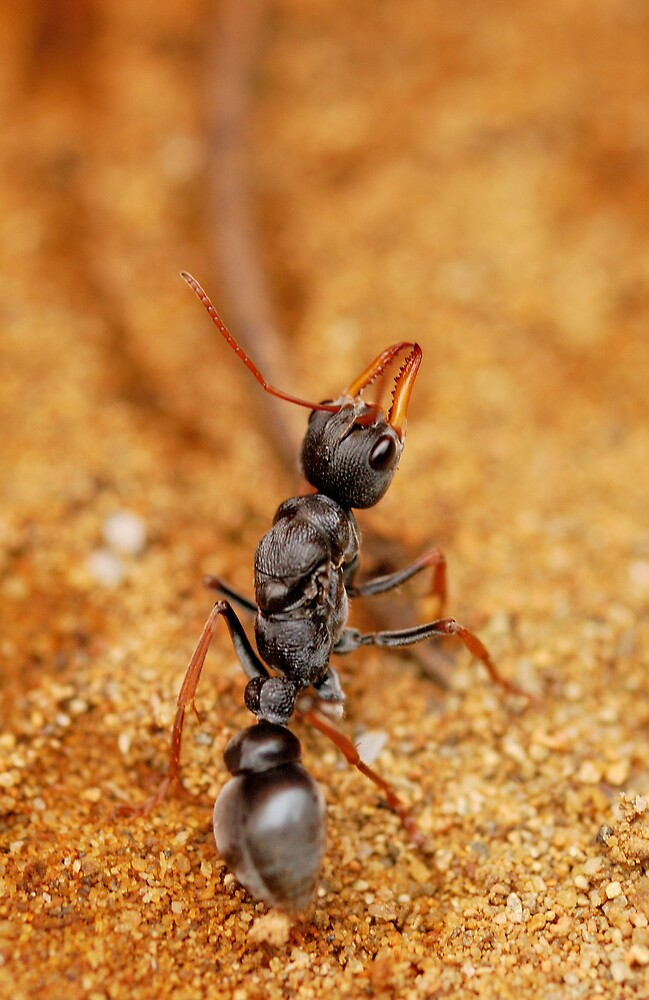 Bull Ant by avernus