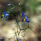 Blue Flax Lily #2 (Dianella caerulea) by Bev Pascoe