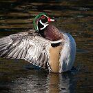 Wood Duck wing flap by Eivor Kuchta
